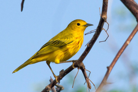 Male Yellow Warbler (migrant) (Photo by Jeff Gerbracht)