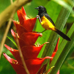 Male Montserrat Oriole on a red Heliconia flower.