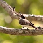 2. GiantKingbird_Eduardo Inigo Elias-cropped