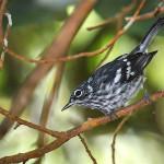 4. Elfin-woods Warbler_Gloria Archilla-cropped