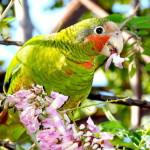 5. Mark Orr_Cuban Parrot-Feature image