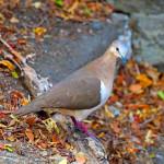7. Greg Homel_Grenada Dove-REV