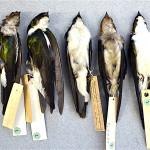 9. Jamaican Golden Swallows specimens_Hein van Grouw-REV