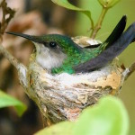 Antillean_Crested Hummingbird-Grenada_HPN (2)-Cropped