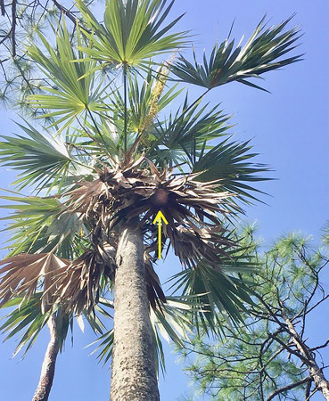 """""""Briana's Nest."""" Nest is hidden in the hanging dead fronds (yellow arrow). (Photo by Kevin Omland)"""