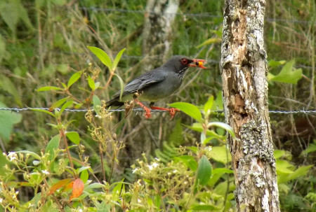 The Red-legged Thrush is one of more than twenty species at my research site that we have confirmed feeding from fruit-bearing trees. Here, an individual is seen feeding on wild guarana (Cupania americana), one of the most popular fruits during the spring and early summer. (photo by Spencer Schubert)