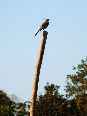 The Northern Mockingbird is another important seed-dispersing species at our research sites. While most birds only occasionally venture away from the forest into open fields, mockingbirds are quite comfortable doing so. This curious individual was seen exploring the newly-installed fence posts. (photo by Spencer Schubert)
