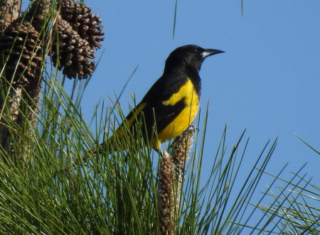The critically endangered Bahama Oriole is found only on Andros, Bahamas. (Photo by Steve Brezinski)