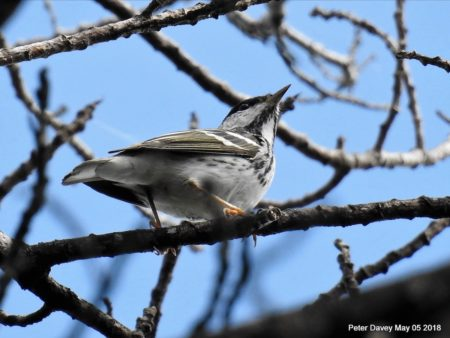 Plenty Of Migrants Were Seen On Global Big Day Like This Blackpoll Warbler Spotted In The Cayman Islands Peter Davey Macauley Library At Cornell Lab