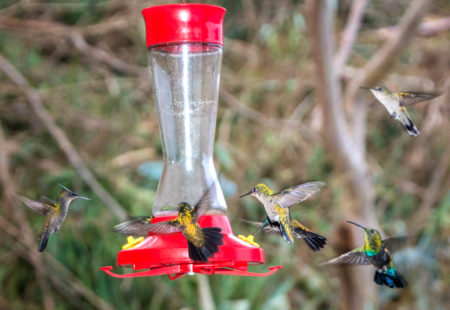 After The Hurricanes Many Birds Like These Hungry Antillean Crested Hummingbirds In St Martin Relied On Feeders While Vegetation Recovered