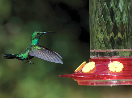 A Green Mango Visits Feeder In Puerto Rico Photo By Manuel Torres