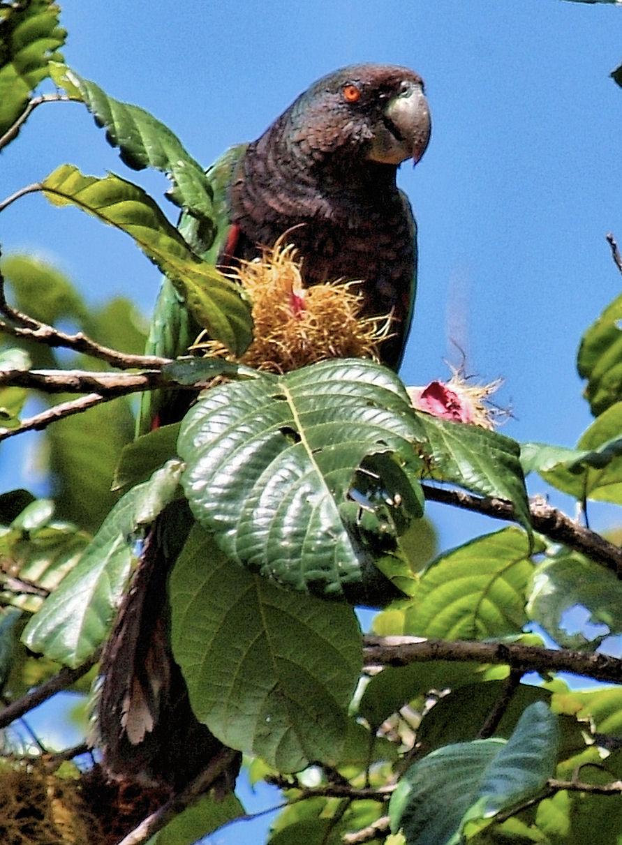 Bird News – BirdsCaribbean
