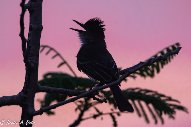 34b700478ded3 A Puerto Rican Flycatcher sings at first light on Global Big Day. (Photo by  Hector Ortiz)
