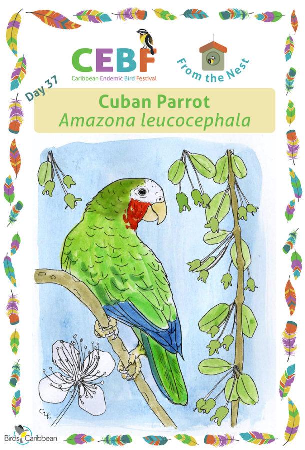 Caribbean Endemic Bird Festival Birdscaribbean